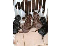 Sprocker (springer/cocker spaniel) Puppies
