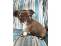 Stunning Full Pedigree Chihuahua Puppies for sale