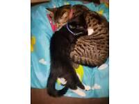 11week old male kitten for sale