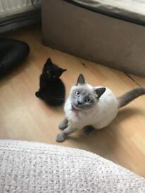 Black/brown kitten