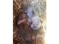 Pedigree miniature lops 5* homes only