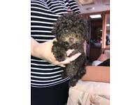 Miniature toy poodle puppy