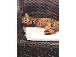 Lost bengal female cat in maghull area