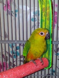 REDUCED PRICE......Beautiful Sun Conure and Cage