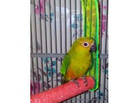 Beautiful Sun Conure and Large Cage