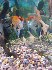 Baby angle fish