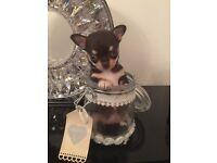 Chihuahua Pedigree tiny tan girl puppy