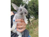 Dwarf rabbits - 10 weeks old