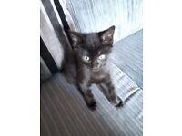 8 week loving male kitten