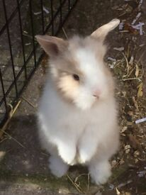Lionhead rabbits ready to leave first week of July. A stunning litter, parents can be seen. £35