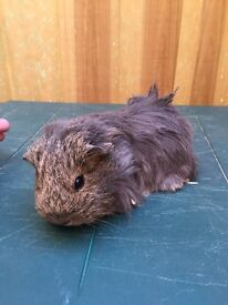 2 x female 10 week old Guinea pigs for sale