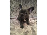 FRENCH BULLDOG PUPS READY TO LEAVE NOW!!!