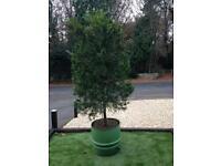 Conifer Large