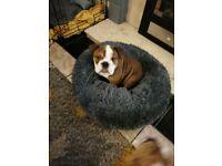 Female standard kc reg English bulldog red and white