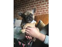 Beautiful French bulldog puppies only 3 girls left