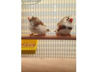 Lovely Zebra Finches Available - ideal for aviary / beginner