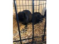 2 French lop rabbits 1 buck and 1 doe 10 weeks old