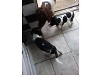 springer cross puppies for sale £150