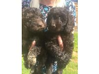 F2 Cockapoo puppies
