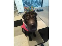 18 MONTH OLD BLACK SHAR PEI, VERY LOVING!!!