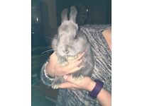 lovely 2 year old male rabbit