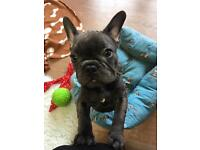 KC Reg Solid Blue French Bulldog Puppies
