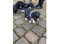 German shepherd x collie (Shollie) puppies