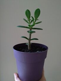 Small but mighty Jade plant