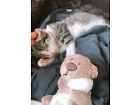White tabby kitten 4 months