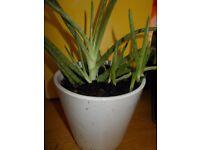 Aloe Vera Plant's