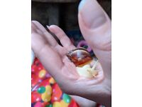 Baby Albino African Land Snails