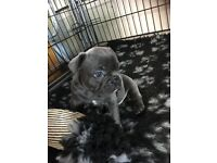 KC registered French bulldogs