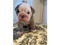 Lovely little Blue merle Bulldog puppy