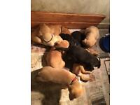 All sold. Pedigree Labrador puppies ready 22nd October