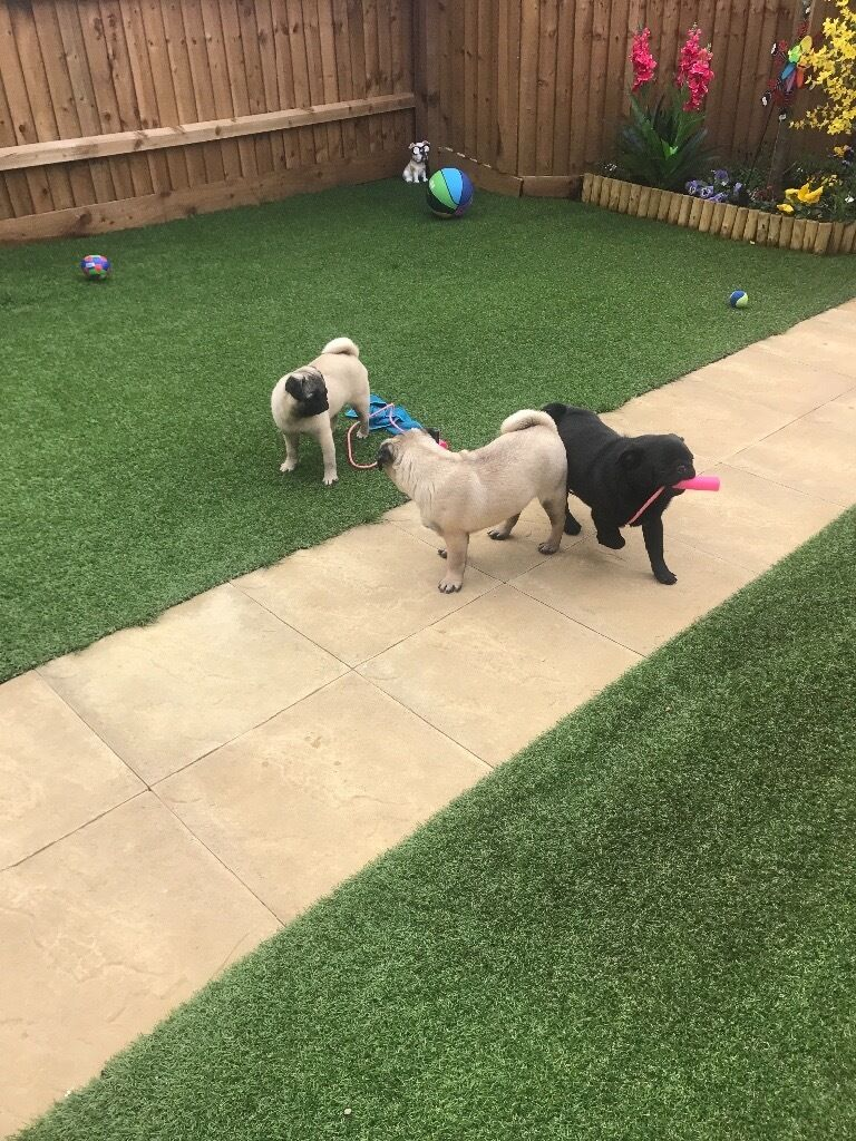 Gorgeous litter of pug two boys