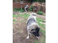 Caucasian shepherd dogs for sale
