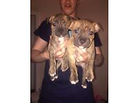 Lovely staffy puppys £300 no time wasters please