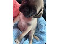 16 week old boy pug puppy