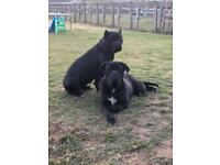 Cane corso puppies