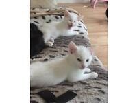 Pure white male kittens