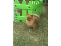 Orange Sable Pomeranian Tiny Boy for sale.