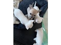 Chihuahua pups for sale 1 girls 2 boys ready to go sat 26thJune