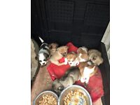 Beutifull shipoo puppys for sale