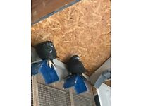 Black and white tumbler pigeons