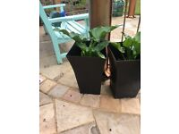 2 large planters with large arum lily plants