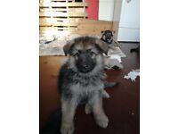 Big Bold German Shepherd Puppies for sale