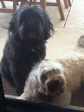 Two adorable Cavoodles must go together Meadow Springs Mandurah Area Preview