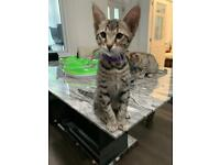 REDUCED due to Covid Black spotted male kitten Glasgow