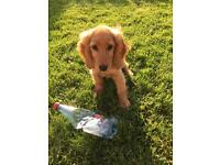 Golden Cockapoo Puppy For Sale