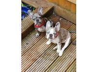Two Merle french bulldog girls